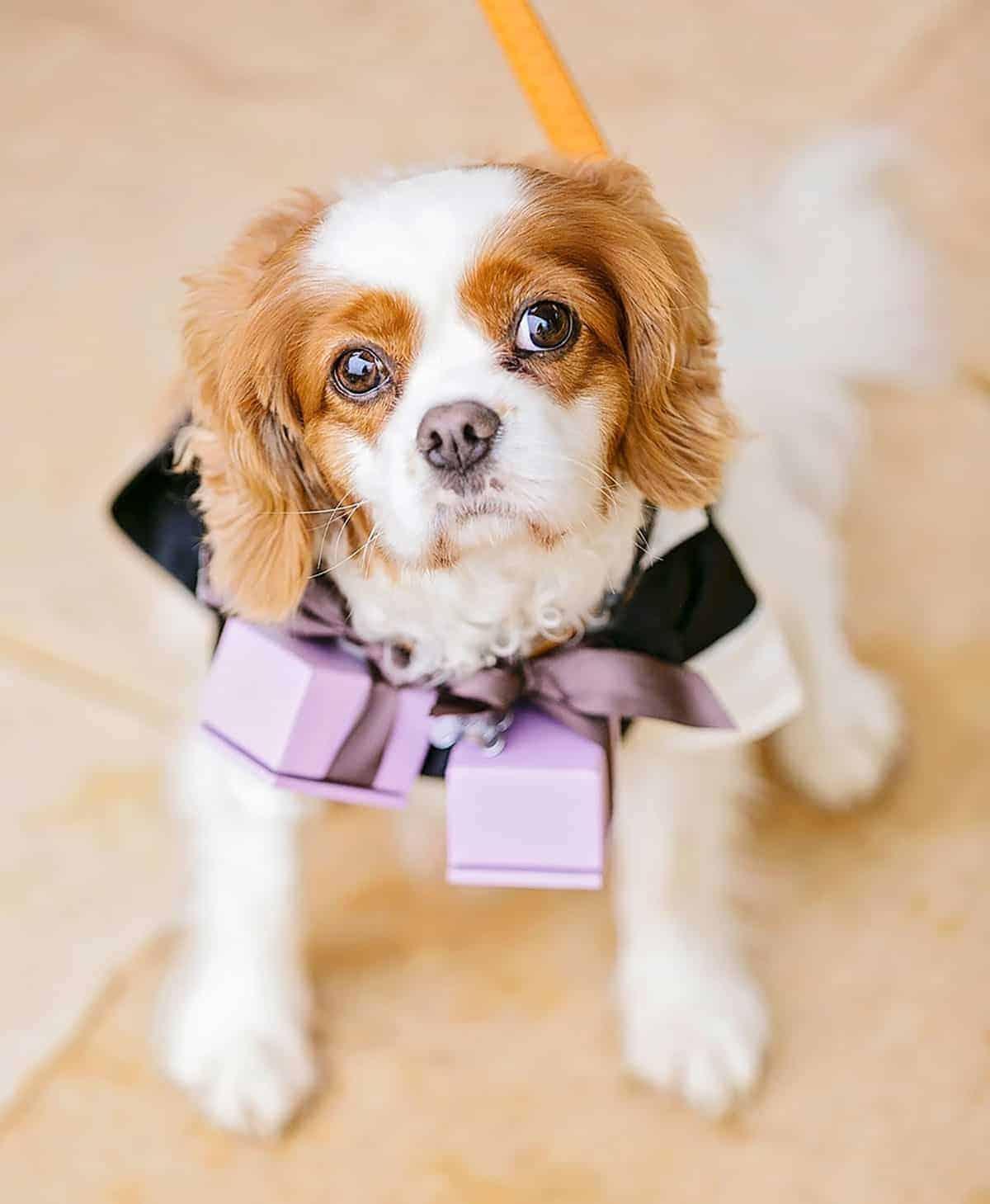pooch at wedding