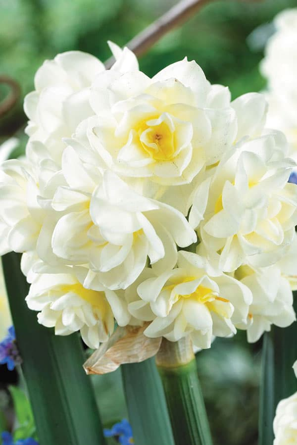 Daffodil 'Erlicheer' is a creamy wedding flower with strong scent