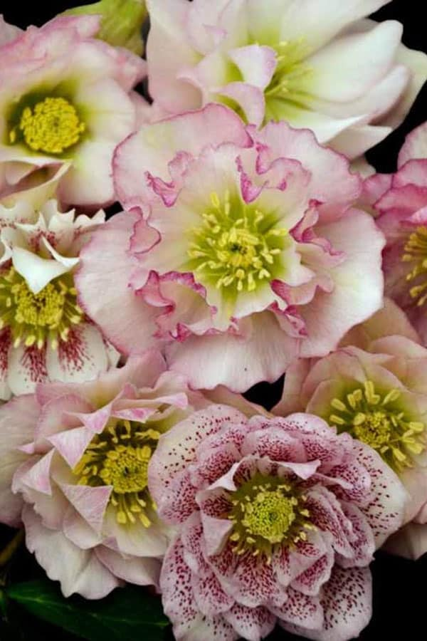 Helleborus wedding flowers