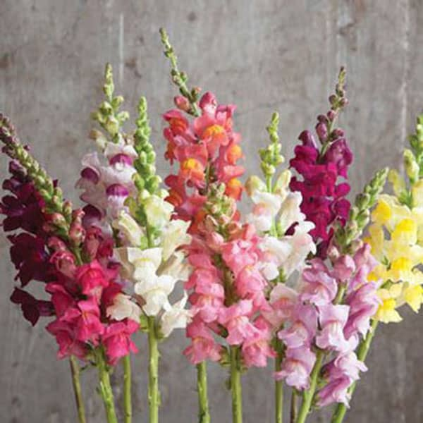 Spring Wedding Flowers, snapdragons